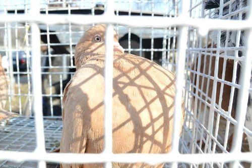 В Луганске прошла выставка голубей (ФОТО), фото-1