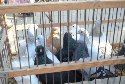 В Луганске прошла выставка голубей (ФОТО), фото-3