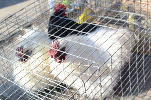 В Луганске прошла выставка голубей (ФОТО), фото-4