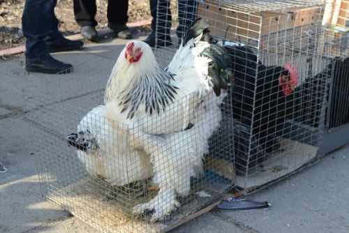 В Луганске прошла выставка голубей (ФОТО), фото-5