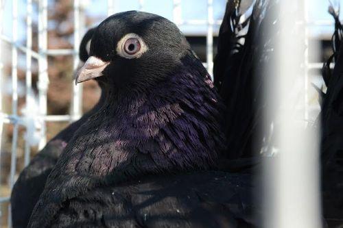 В Луганске прошла выставка голубей (ФОТО), фото-6